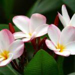 プルメリアの剪定時期と方法!花が咲かない原因は病気?