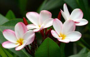 プルメリア 白い花