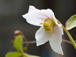 クリスマスローズの開花時期・季節はいつ?花が咲かない場合は?