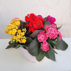 数色を寄せ植えにした鉢花カランコエ