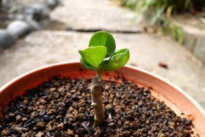 カランコエの挿し木