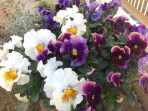 シクラメンと寄せ植えに合う花 パンジー