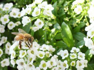 シクラメンとの寄せ植えに合う花 アリッサム