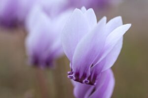 薄紫色のシクラメン