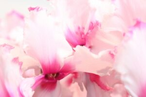 シクラメン フリンジ咲き
