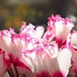 シクラメンの季節・開花時期はいつ?いつからいつまで咲くの?
