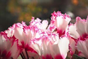 ギザギザの花弁のシクラメン