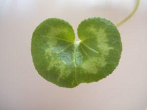 ハートのシクラメンの葉