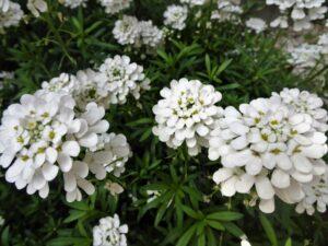 シクラメンとの寄せ植えに合う花 イベリス