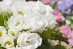 シクラメンとの寄せ植えに合う花 ジュリアン
