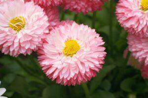 シクラメンとの寄せ植えに合う花 デージー
