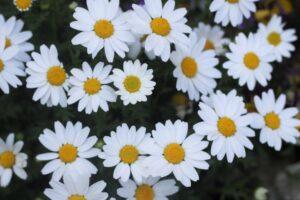 シクラメンとの寄せ植えに合う花 ノースポール