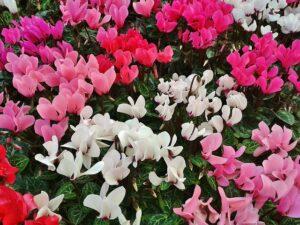 シクラメンの花いろいろ