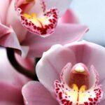 シンビジウムの花が終わったらすること!来年も咲かせるためには?