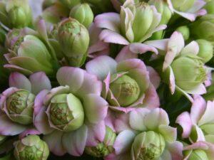 シクラメンとの寄せ植えに合う花 カランコエ