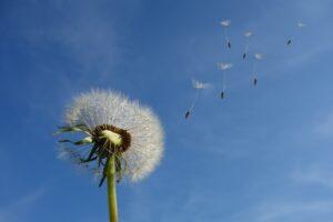 風で飛ぶタンポポの種