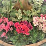 シクラメンと寄せ植えで相性OKな花一覧!作り方のコツは?