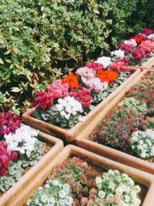 シクラメンの花壇