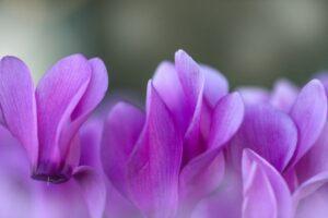 紫のシクラメン