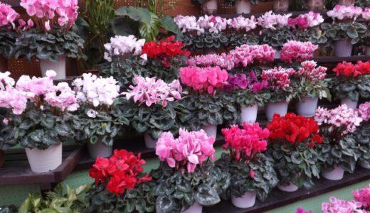 シクラメンの花が咲かない!原因と花を咲かせる手入れの仕方は?
