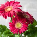 ガーベラと寄せ植えで相性OKな花一覧!綺麗に飾るコツは?