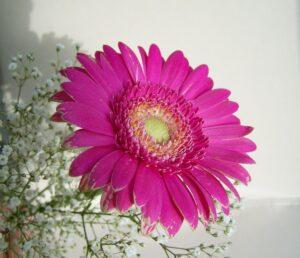 生花のガーベラ