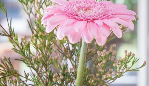 ガーベラの花言葉!ピンクやオレンジの色別の意味と由来は?
