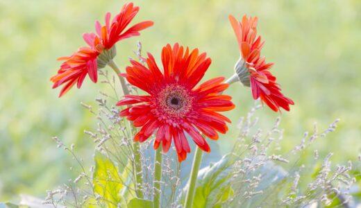 ガーベラの季節・開花時期はいつ?花が咲かない原因は?