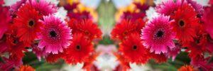 沢山のガーベラの花