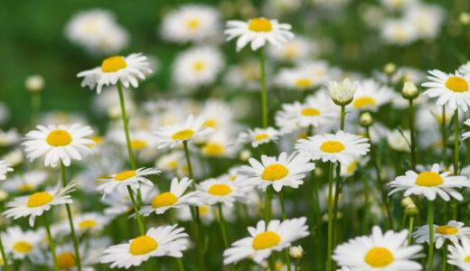 マーガレットの花言葉!白・ピンク・黄色の色別の意味と由来は?