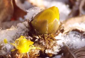 雪の中からひょっこり福寿草