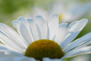 白いマーガレットの拡大写真