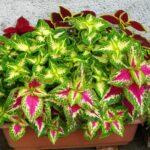 3種類植わったコリウスの寄せ植え