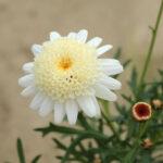 マーガレットぽぽたんクリームの花拡大写真