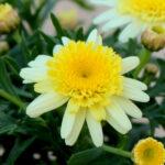 マーガレットぽぽたんイエローの花の拡大写真