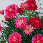 マーガレットファイアークラッカーの花