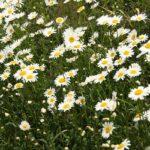マーガレットとに似ているシャスターデージーの花