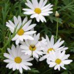 白いマーガレットが幾輪かさいている写真