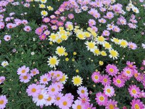野に咲く色とりどりのマーガレット