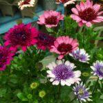 赤、ピンク、紫の八重咲きオステオスペルマム