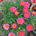 マーガレットモリンバシリーズ ヘリオ ウォーターメロンの花
