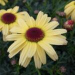 マーガレットカーニバルクイーンの花の拡大写真