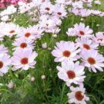 マーガレットフォーシーズンズの花群れ