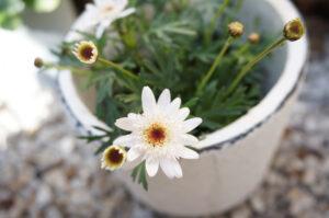白い陶器鉢に入れられた白いマーガレット