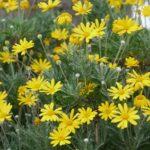 マーガレットに似ているユリオプスデージーの花