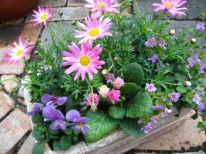 ピンクマーガレットと菫の寄せ植え