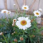 モリンバシリーズ サッシー コンパクトホワイトの花