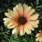 マーガレットカナリアクイーンの花の拡大写真