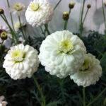 ポンポン咲きの白マーガレット