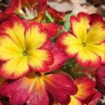 プリムラの花言葉まとめ!色別・種類別の意味を一挙紹介!
